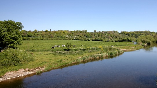 Cows in Donore