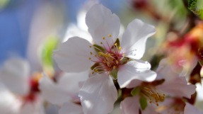 Flowers on an almond tree