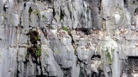 Birds nesting on Drangarnir