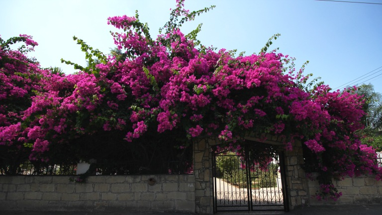 Beautiful Bougainvilleas everywhere